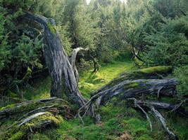 Juniper bush by zeitspuren