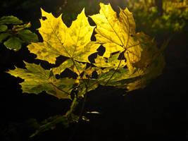 Maple leaves in golden fall light by zeitspuren