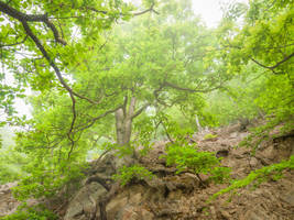 Gnarly oak with mighty roots in the morning mist by zeitspuren