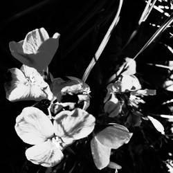 Flowers - Black And White by Katastract