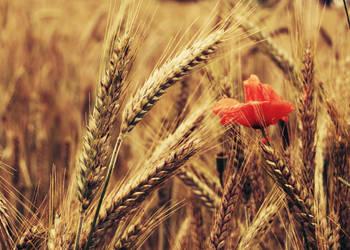 .: gold field :. by biszkopciik