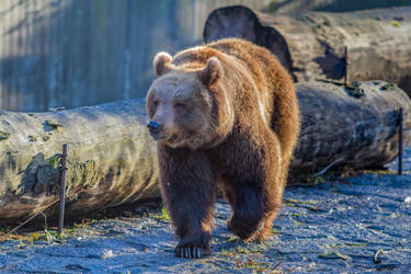 Brown Bear by Fotostyle-Schindler