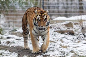 Amur Tiger by Fotostyle-Schindler