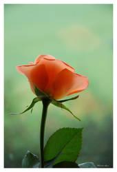 Una rosa por tu amor by Curri-chan
