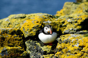 Puffin in the hole by Yoonett