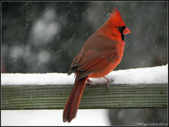 Mr. Cardinal by Lou-in-Canada