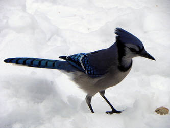 juvenile bluejay by Lou-in-Canada