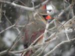female cardinal hiding by Lou-in-Canada