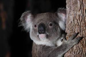 Koala by JeremyRingma