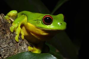 Oranged eyed tree frog 4 by JeremyRingma