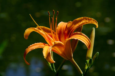 Orange Lily by davebb