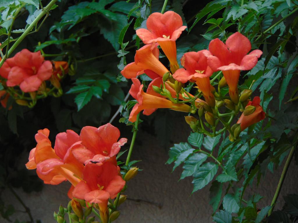 Trumpet Flowers 01 by amethystmstock