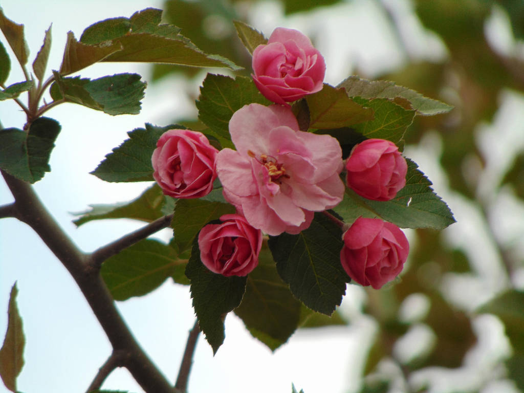 Apple Blossoms  001 by amethystmstock