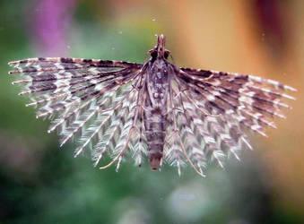 Twenty-plume Moth by Iris-cup