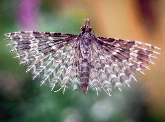 Twenty-plume Moth by IRIS-KUPP