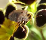 Shieldbug 8 by IRIS-KUPP