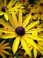 Yellow Daisy by IRIS-KUPP