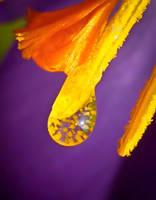 Crocus pollen by IRIS-KUPP