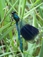 Calopteryx Splendens Male by Iris-cup