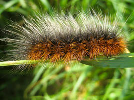 Tiger Moth Caterpillar by IRIS-KUPP