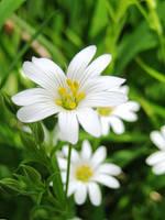 Cerastium Arvense by Iris-cup