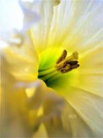 Spring Daffodils by IRIS-KUPP