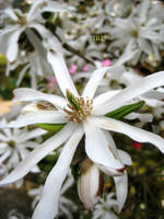 Magnolia Stellata by IRIS-KUPP