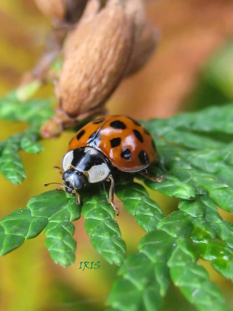 Ladybird by IRIS-KUPP
