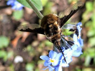 Bee Fly by IRIS-KUPP