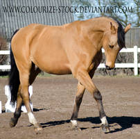 Warmblood 13 by Colourize-Stock