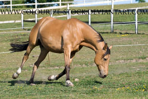 Warmblood 10 by Colourize-Stock