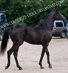 Arabian 1 by Colourize-Stock