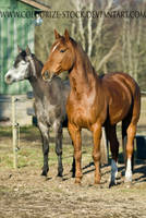 Standardbred 5 by Colourize-Stock