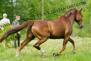 Standardbred 6 by Colourize-Stock