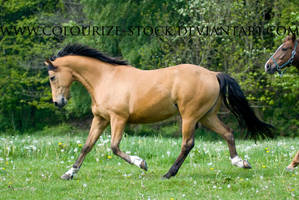 Warmblood 18 by Colourize-Stock