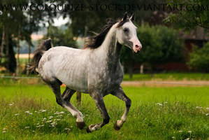 Arabian 9 by Colourize-Stock