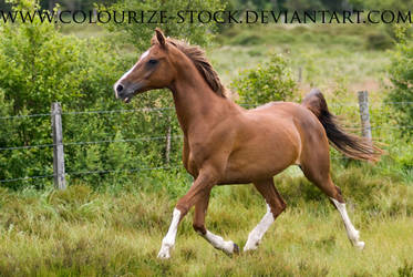 Arabian 14 by Colourize-Stock