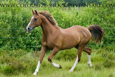 Arabian 15 by Colourize-Stock