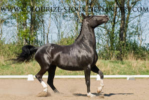 Warmblood Stock 24 by Colourize-Stock