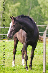 Warmblood Stock 30 by Colourize-Stock
