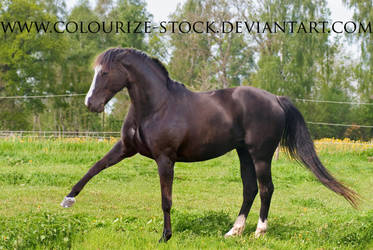 Warmblood stock 32 by Colourize-Stock