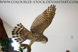 Hawk Stock 3 by Colourize-Stock