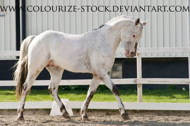 Spotted horse stock 1 by Colourize-Stock