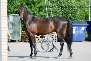 Standardbred 37 by Colourize-Stock