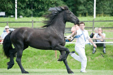 Friesian 4 by Colourize-Stock