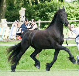 Friesian 5 by Colourize-Stock