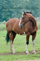Warmblood 55 by Colourize-Stock