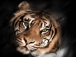 Tiger Black And White Wallpaper myluo by whitemale1961