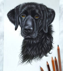 Black Labrador by AnnasDrawing