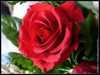 Red Rose by KiArA83